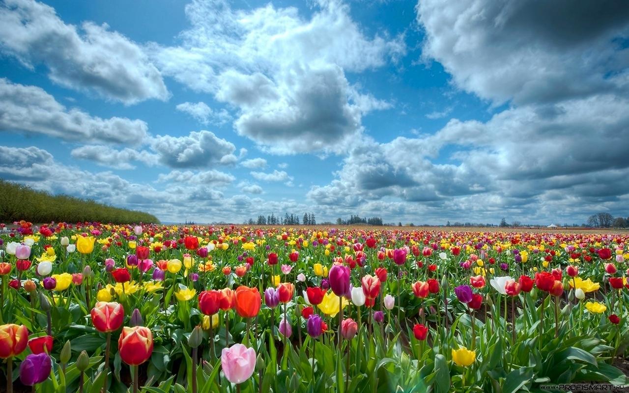 Природа, поле тюльпанов