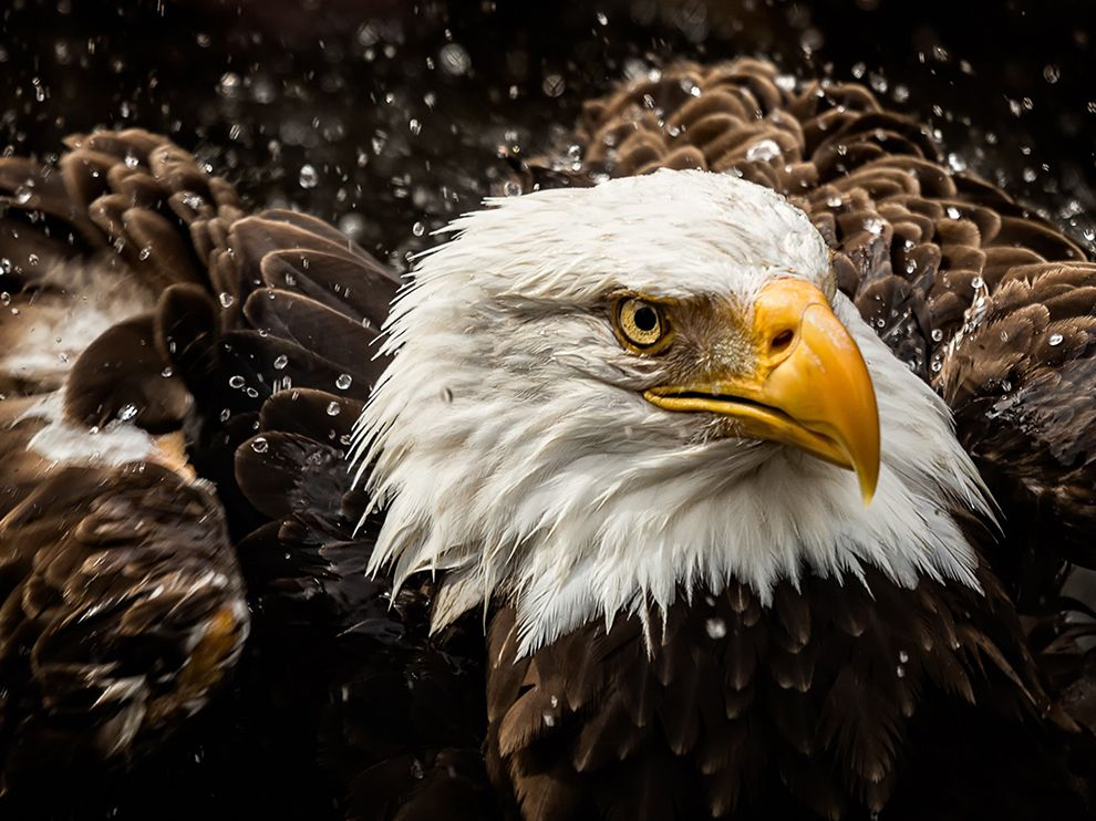 bald-eagle-water-zoo