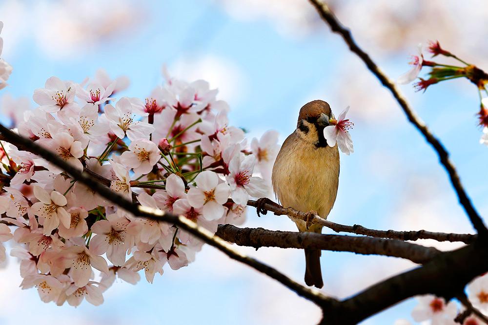 Сакура цветет, Япония. праздник ханами в Японии