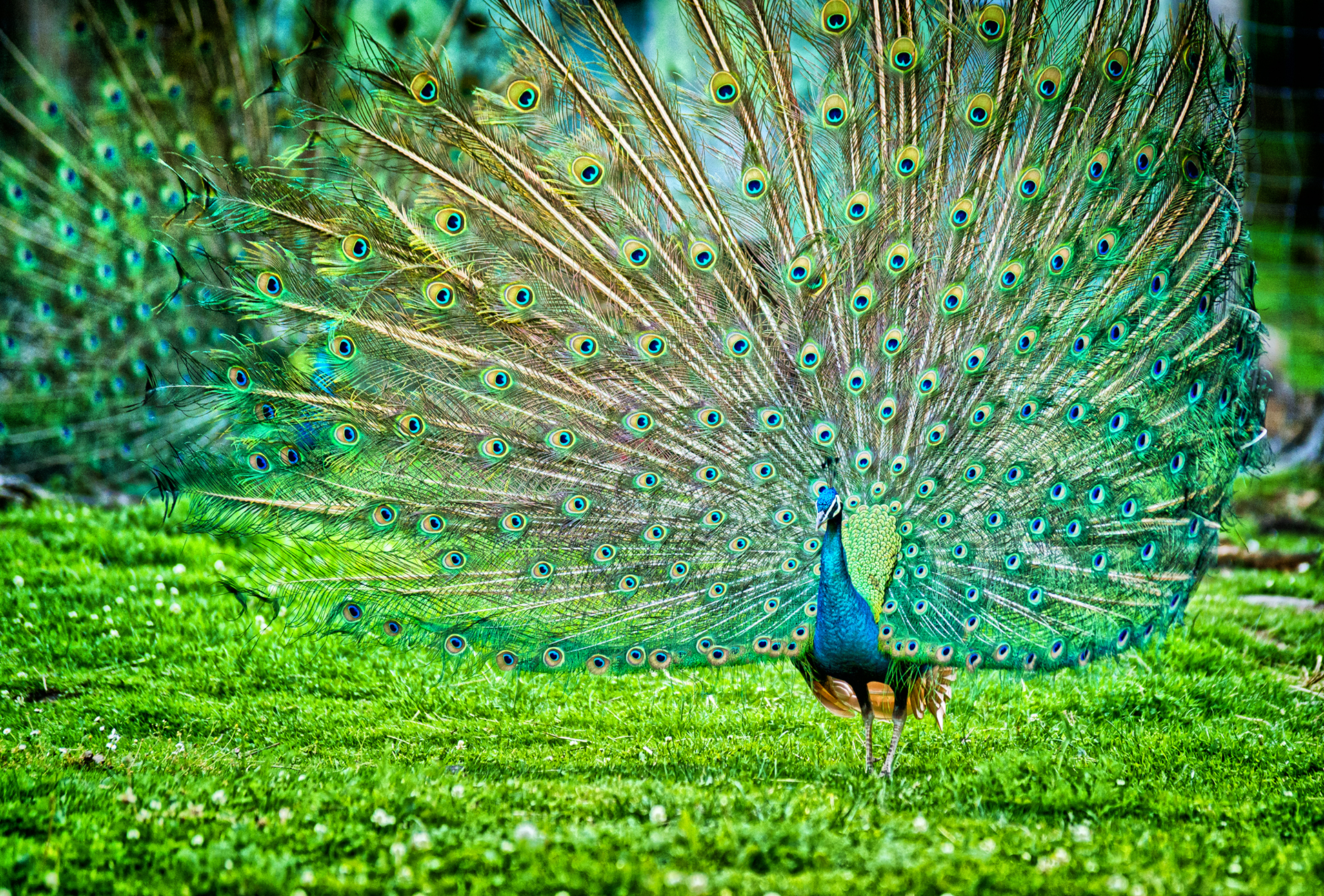 information about peacock bird