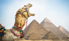 camel-yawn-pyramid_egypt-national-geographic