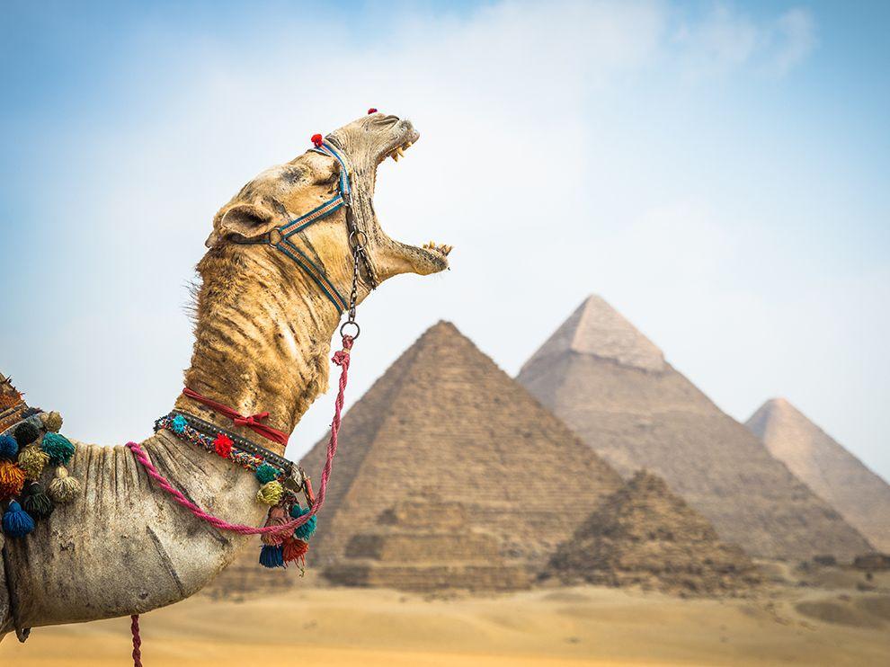 camel-yawn-pyramid_egypt-national-geographic
