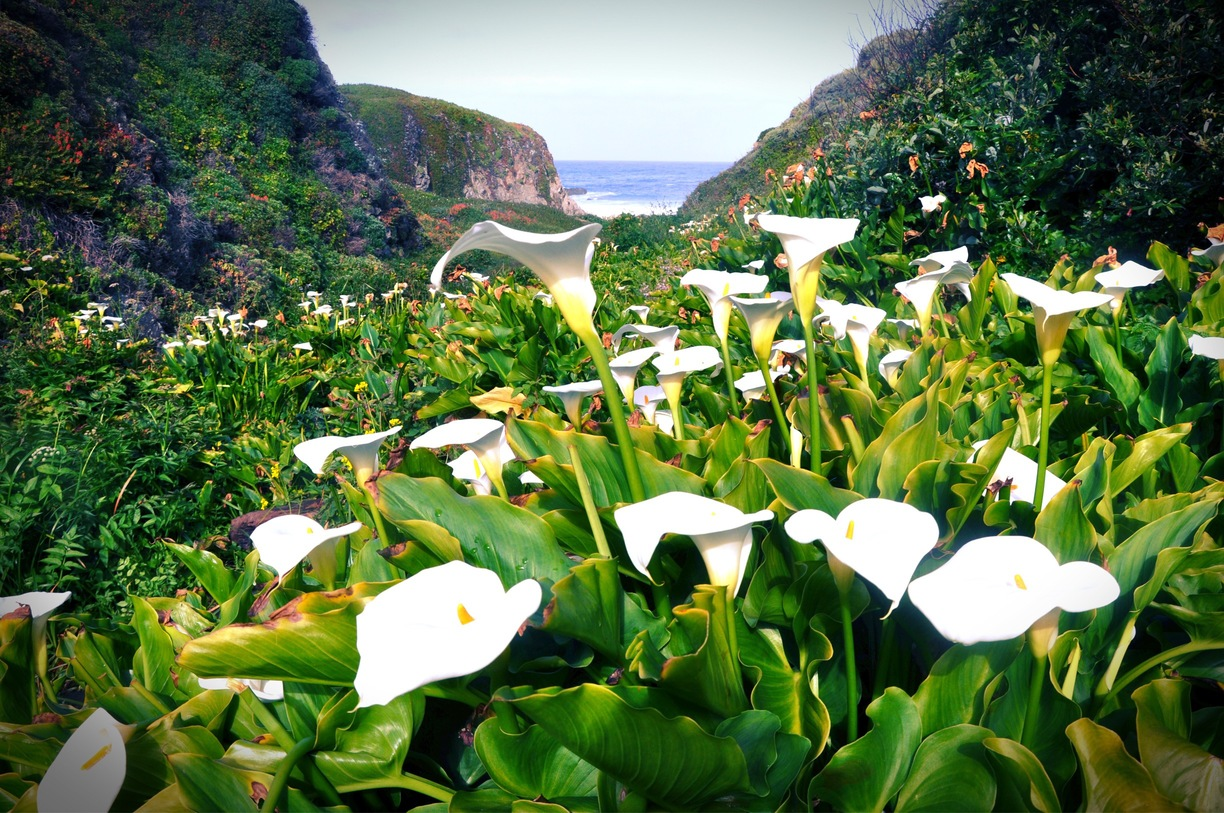 Calla-Lily-Valley1