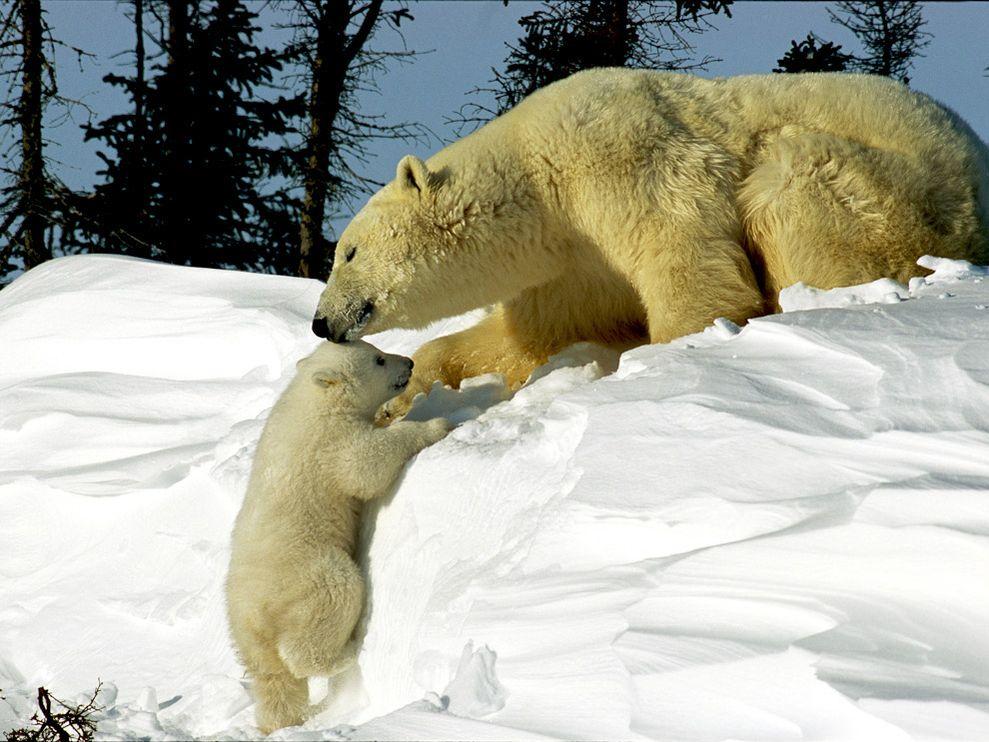 polar-bears_белый-медведь-с-детенышем