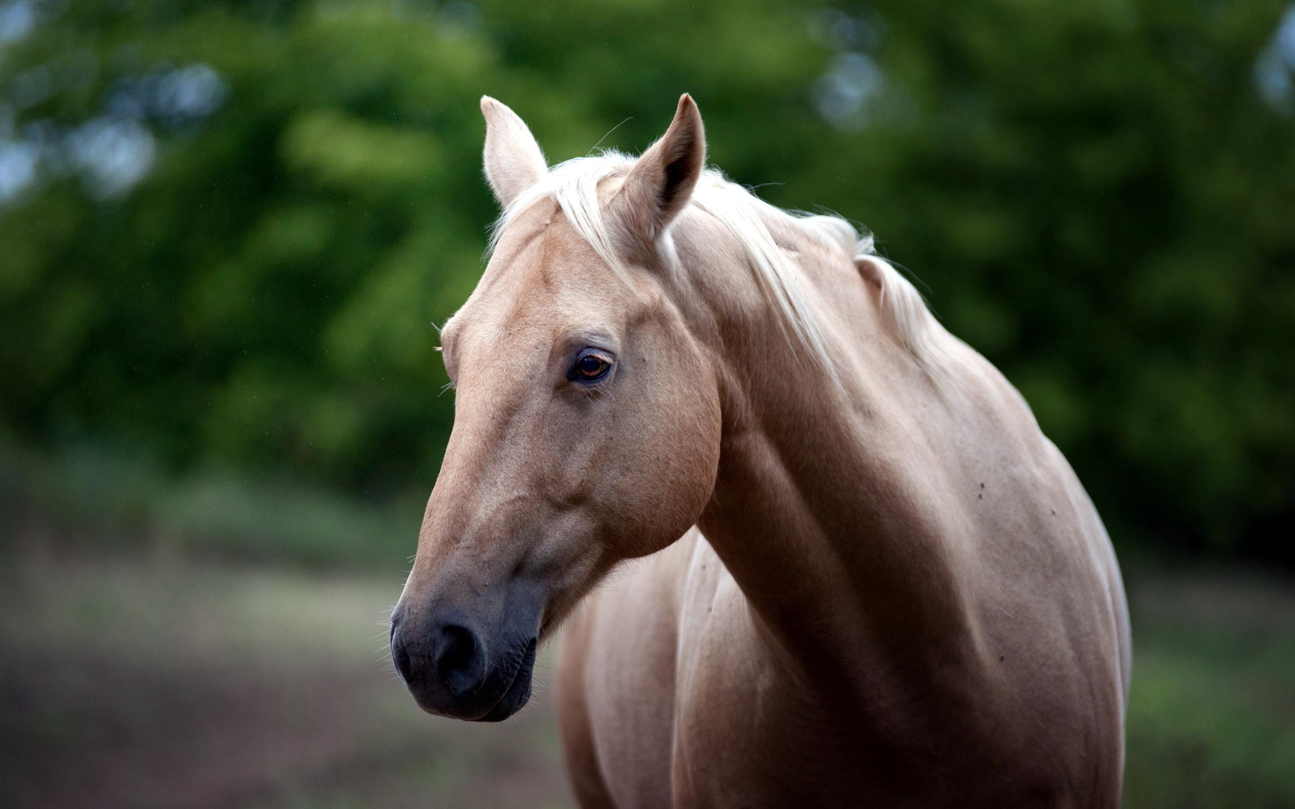 Лошадь_обои_высокое_качество