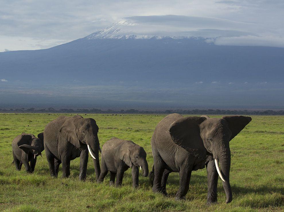 Слоны_идут_Килиманджаро_Африка