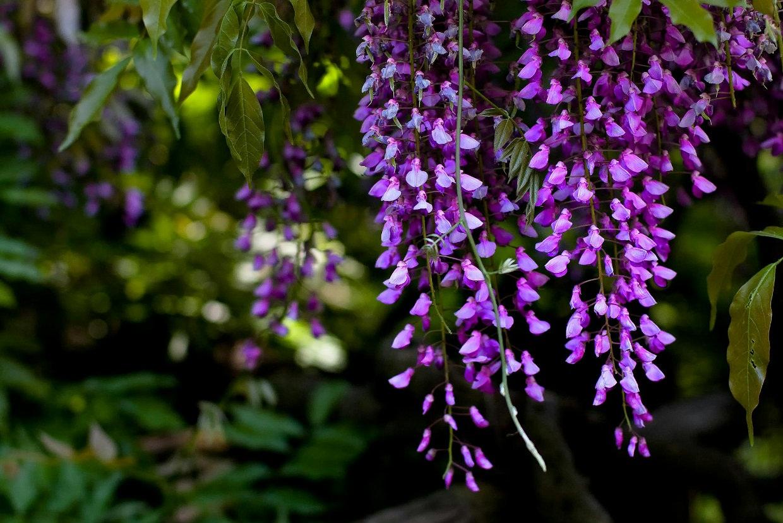 Цветущий_глициний_вистерия_сад_Японии_завораживающая_красота_природы