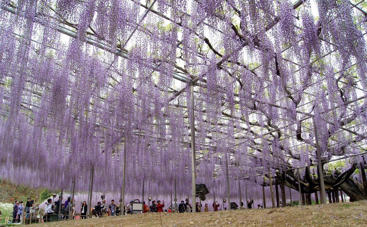 Kawachi_Fuji_Japan_garden_visjachiy_sad.1.jpg