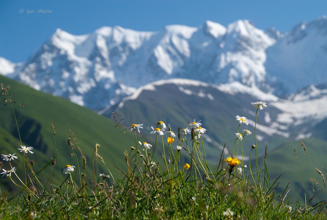 georgia-svaneti-kavkaz-gori-cveti-na-fone-gor