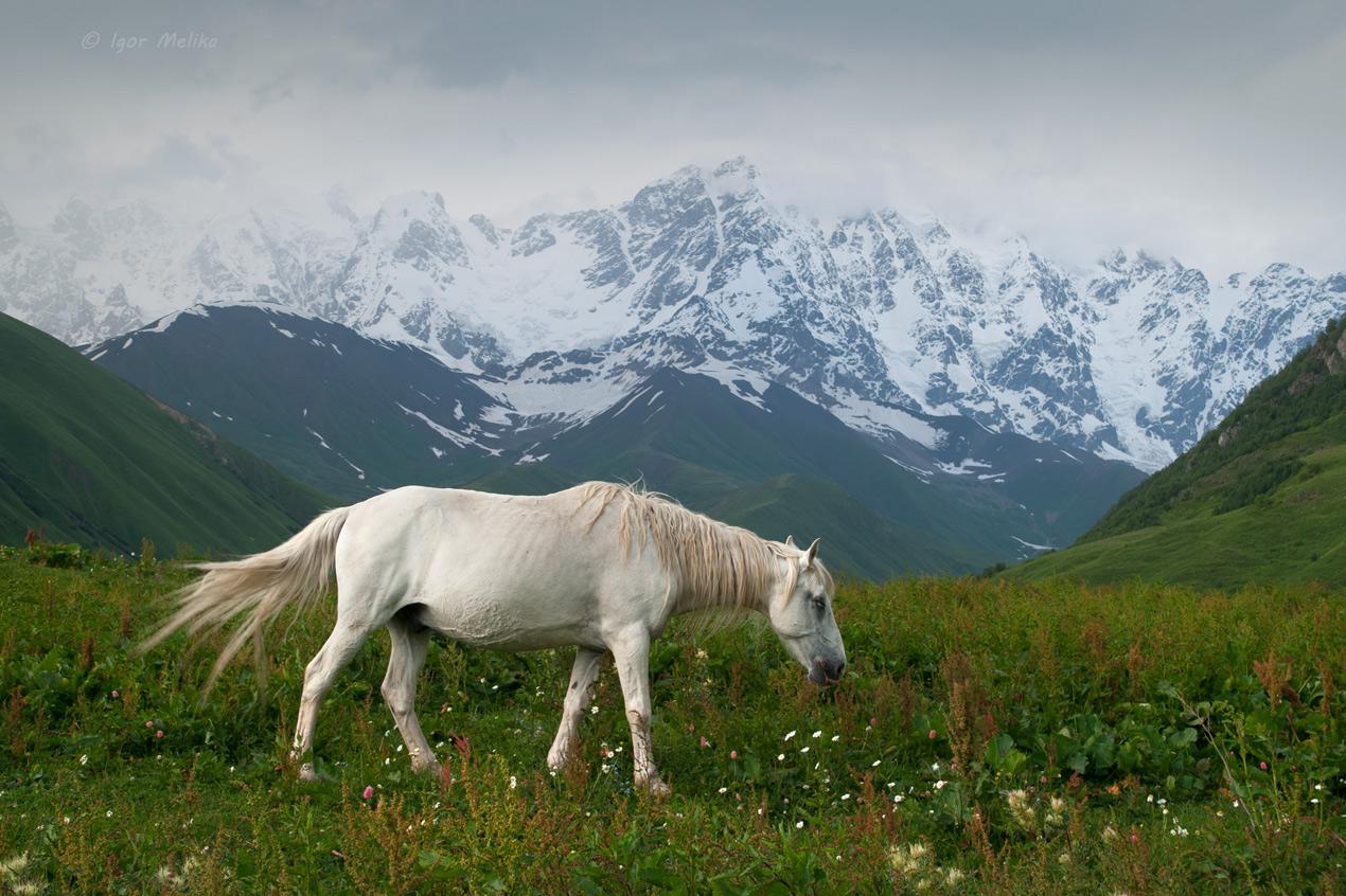 kavkaz-georgia-svaneti-loshad_pasetsa_u_gor