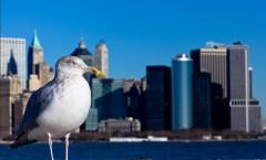 Чайка_на_фоне_небоскребов_Нью_Йорк_США