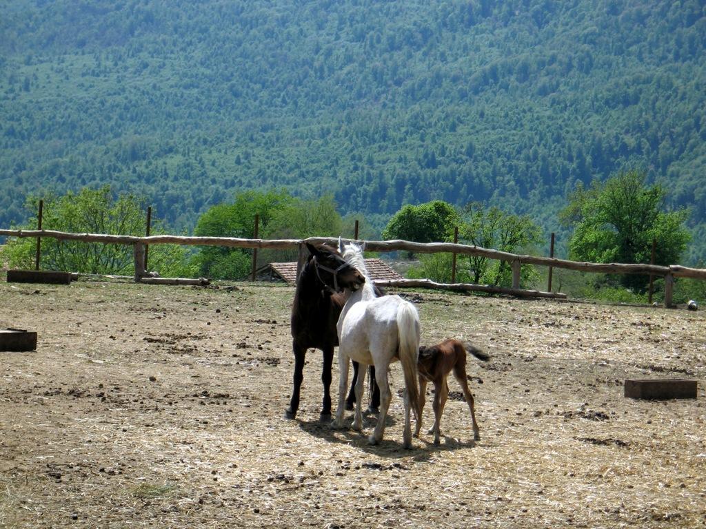 лошади_11Иджеван_Армения