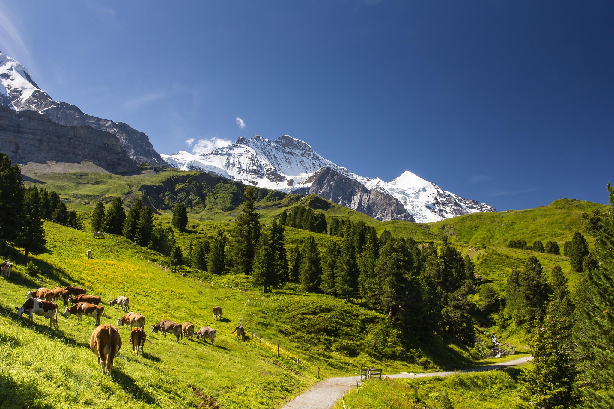 Горы_Альпы_Alps_Alpes_Alpi_коровы_пасутся_у_Альп_в_горах_Европа