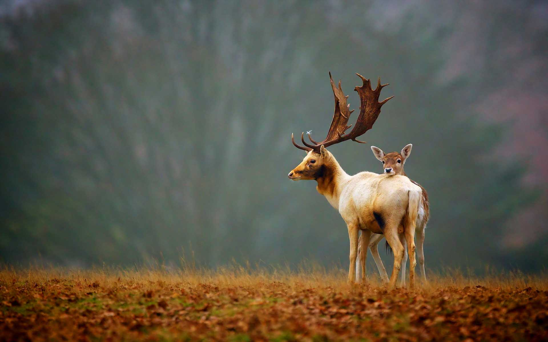 Олень-олененок-Deers-Nature-High-Definition-Wallpaper-1920x1200