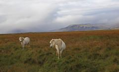 Лошади_пасутся_на_фоне_гор_Исландия