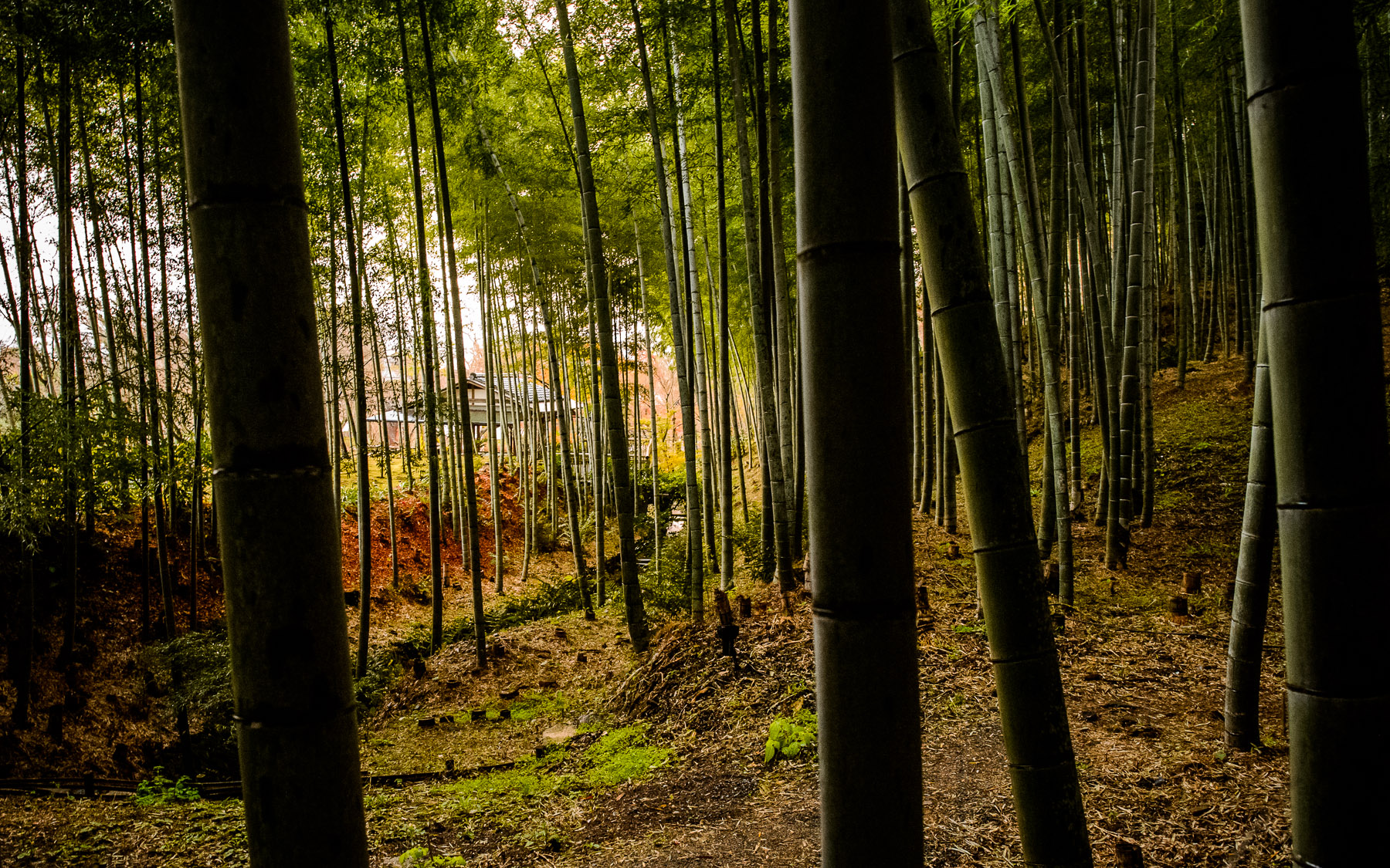 Sagano.Bamboo.Forest.original.kioto.japan
