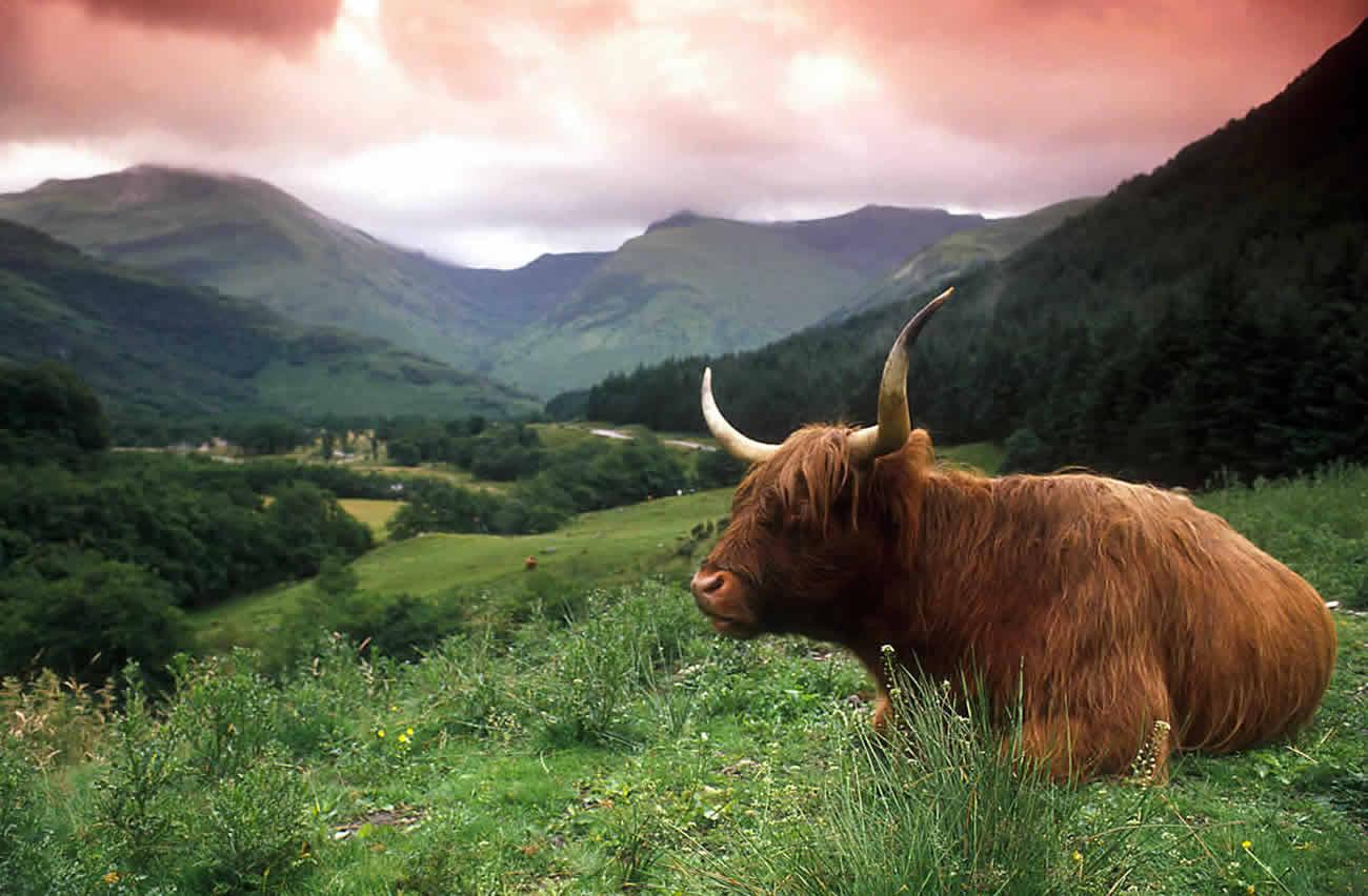 Шотландия_поле_бык_як